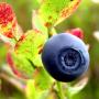 Norwegian_blueberry-small