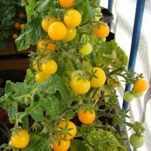 pomidory na balkonie wreszcie dojrzay  weganizm